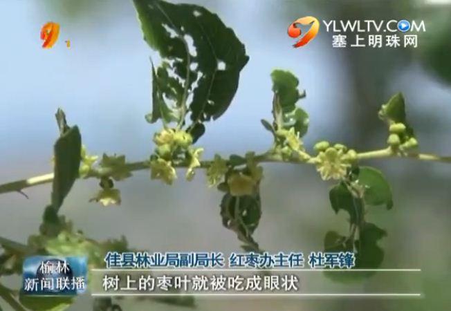 佳县:红枣遭遇罕见虫灾各方全力防虫减灾