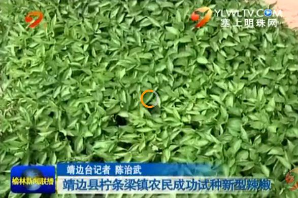 点击观看《靖边县柠条梁镇农民成功试种新型辣椒》