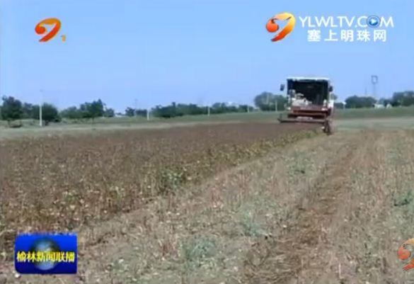 定边:50万亩荞麦成熟 田间地头抢收忙