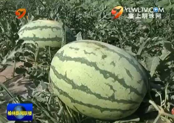 定边白泥井镇:发展特色农业 助力农民增收