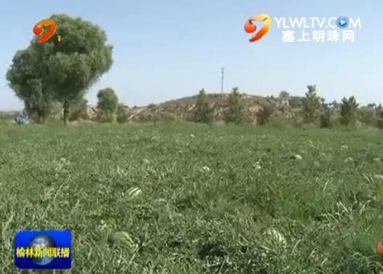 """横山:云梁西瓜又获丰收 滴灌技术""""功不可没"""""""