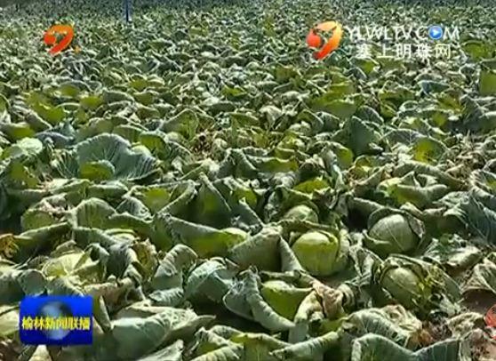 靖边东坑:蔬菜种植产业化产值突破十亿元