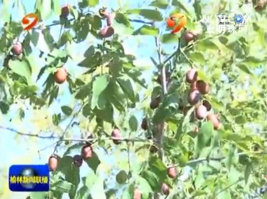 清涧县:红枣低产改造见成效