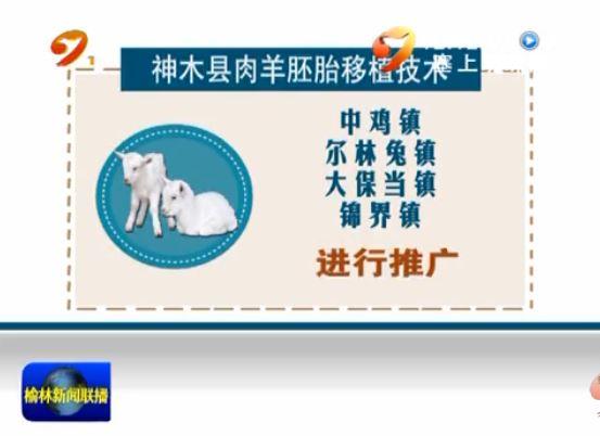 神木县:推广肉羊胚胎移植技术 实现养殖效益最大化