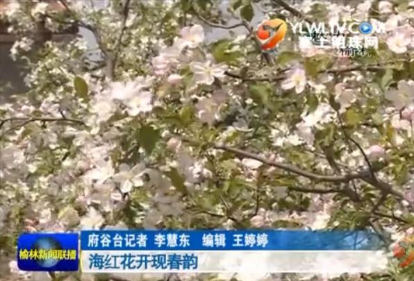 点击观看《《魅力榆林》海红花开现春韵》