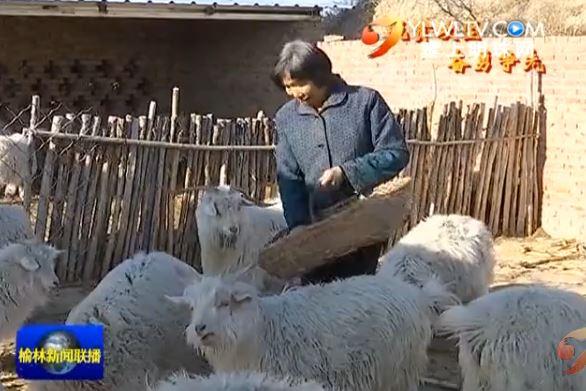 系列报道《脱贫攻坚 奋勇争先》横山区吴东峁村 发展羊产业 实现整村脱贫